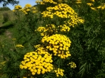 Common Tansy 