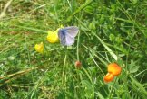 A common blue butterfly on birdsfoot trefoil by Sally