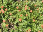 Close up of Scarlett Pimpernel